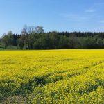 Ein leuchtendes Rapsfeld - wie schön ist die Natur